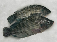 Whole Tilapia Clean Large Bag